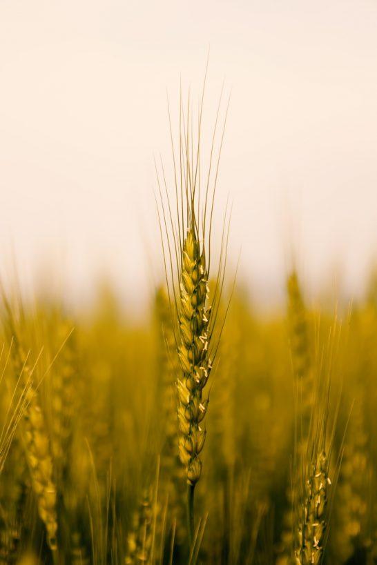 新しいお米の食べ方!お米を健康的に食べられる「もち麦」の効果とは